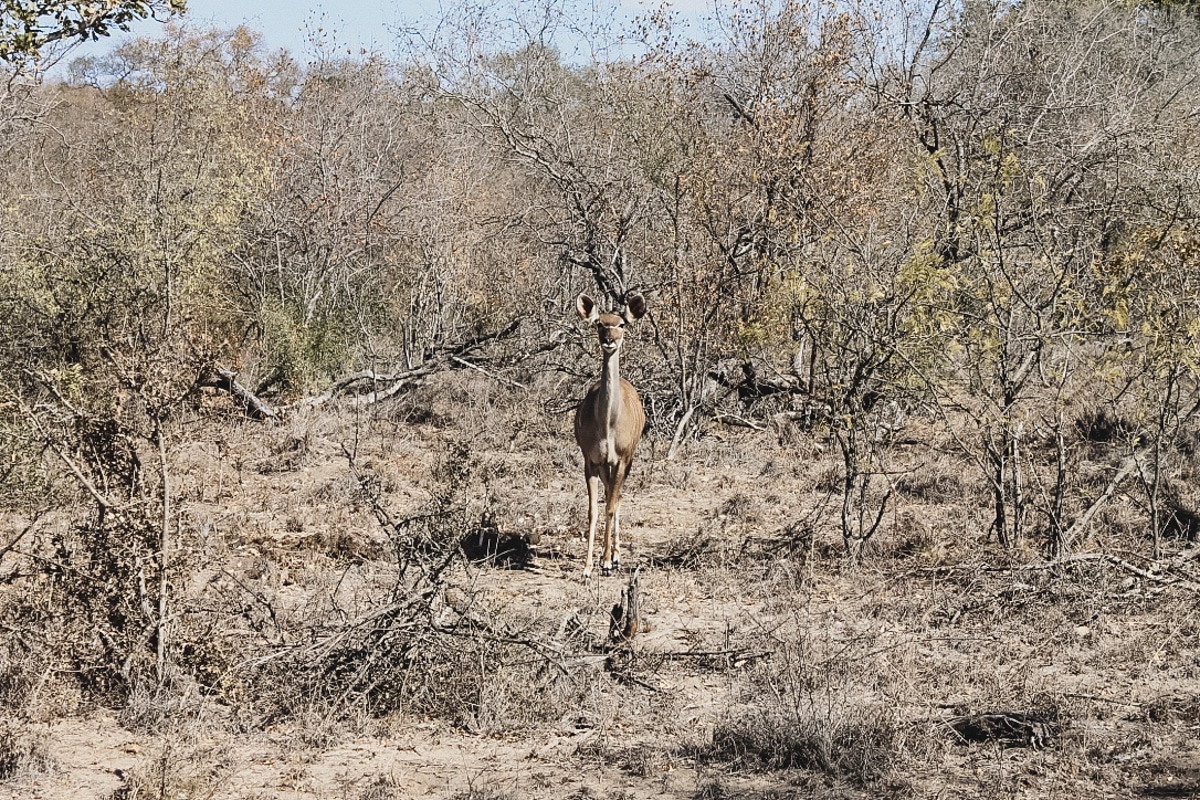 antilope nature kruger
