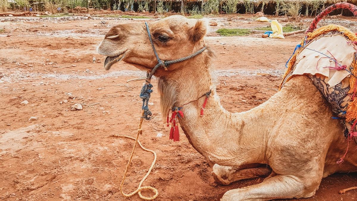 chameau dromadaire marrakech
