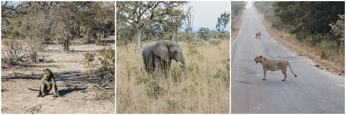 singe éléphant lionne afrique sud kruger