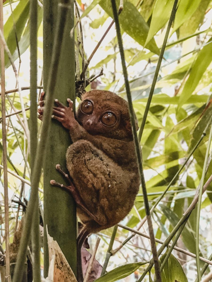 tarsier arbre philippines bohol
