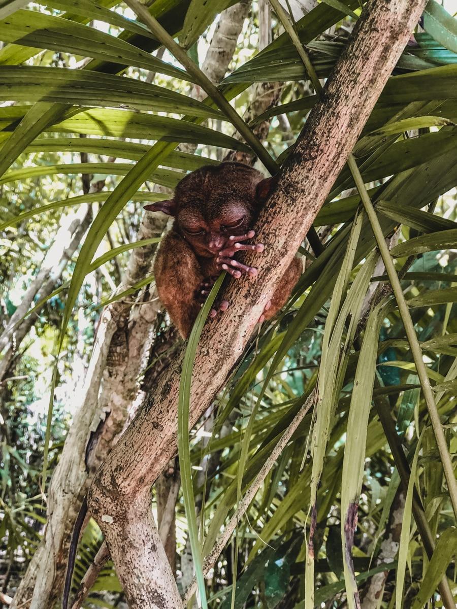 tarsier arbre bohol philippines