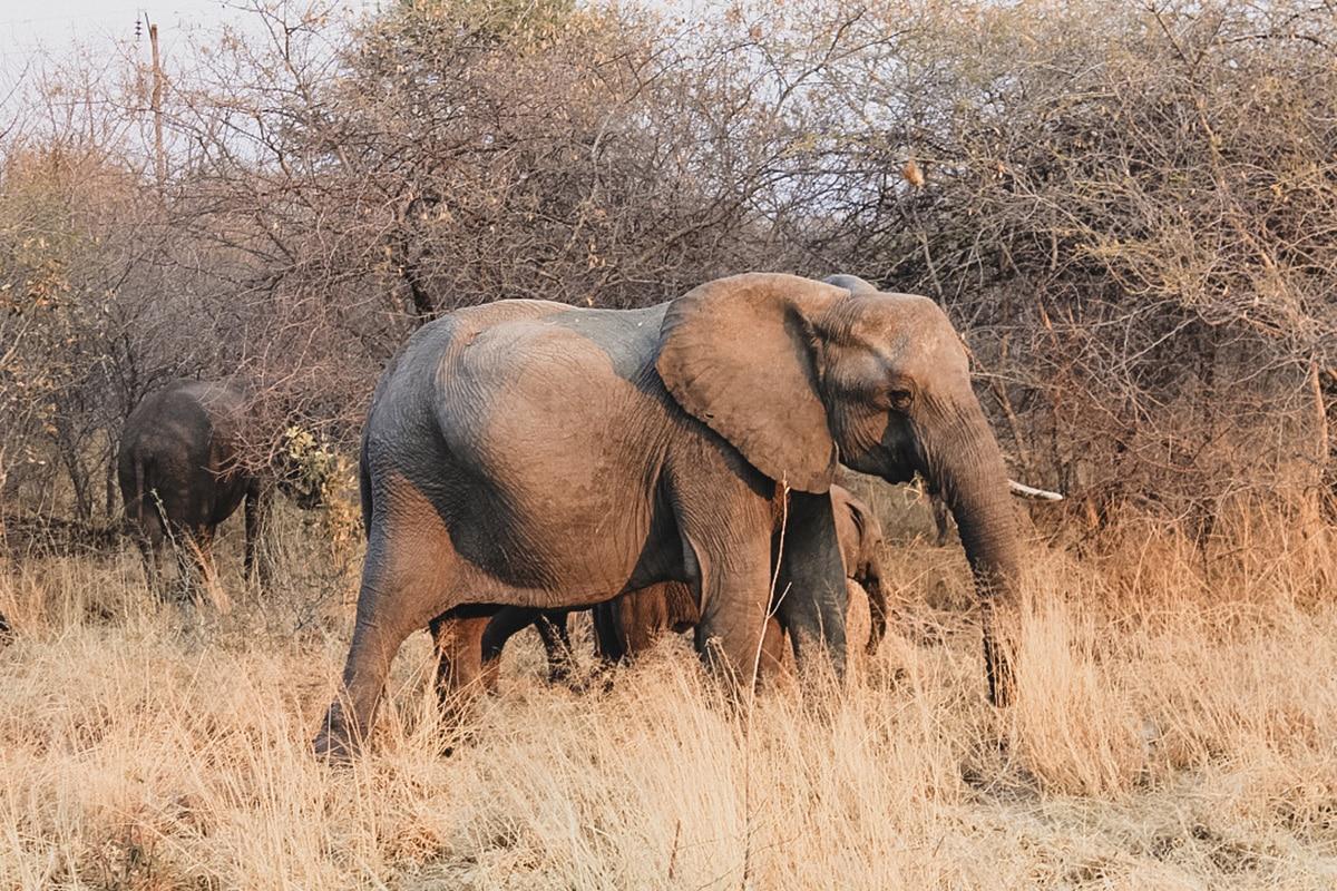 éléphant savane zimbabwe