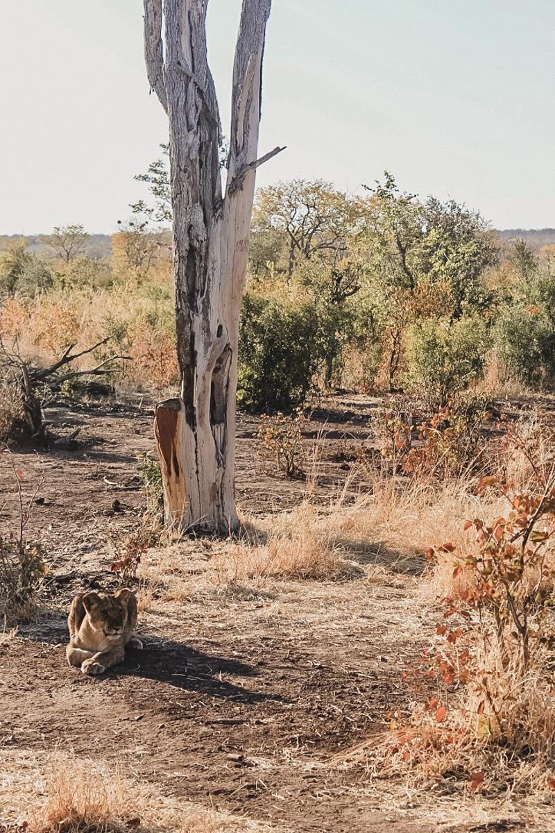 lionceau parc zimbabwe
