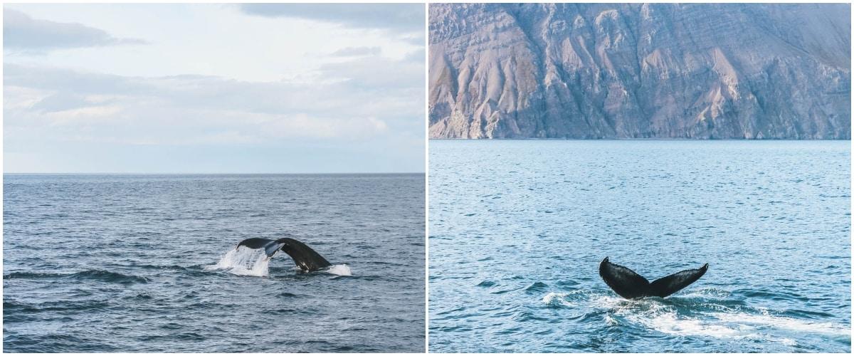 baleine mer islande