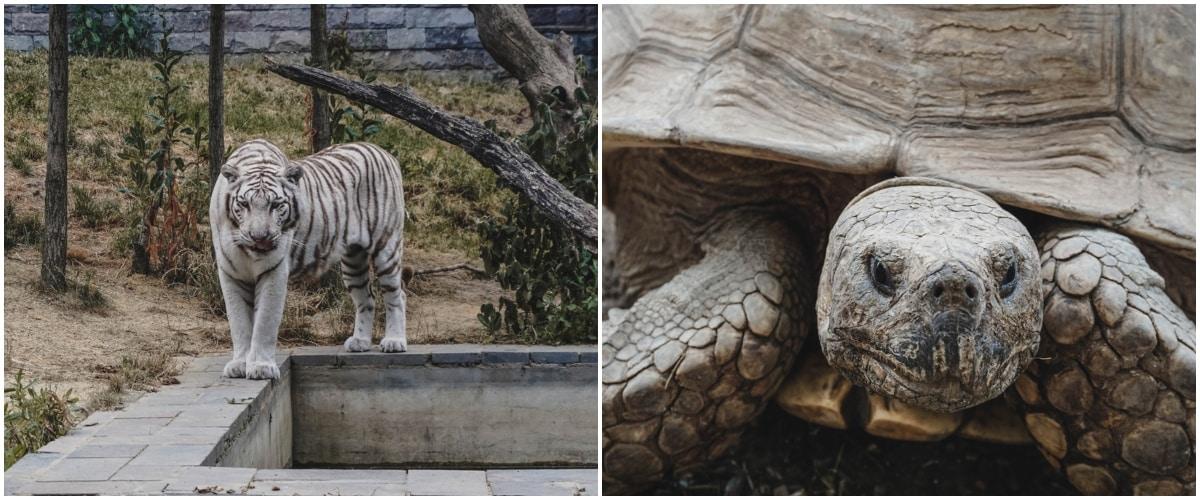 tigre tortue Pairi daiza belgique