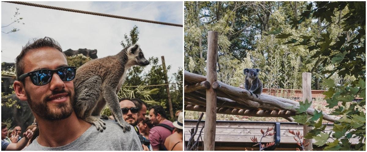 koala lémurien belgique