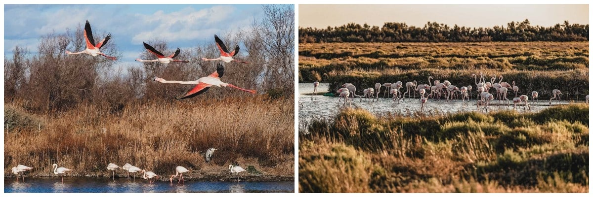 flamants roses parc camargue