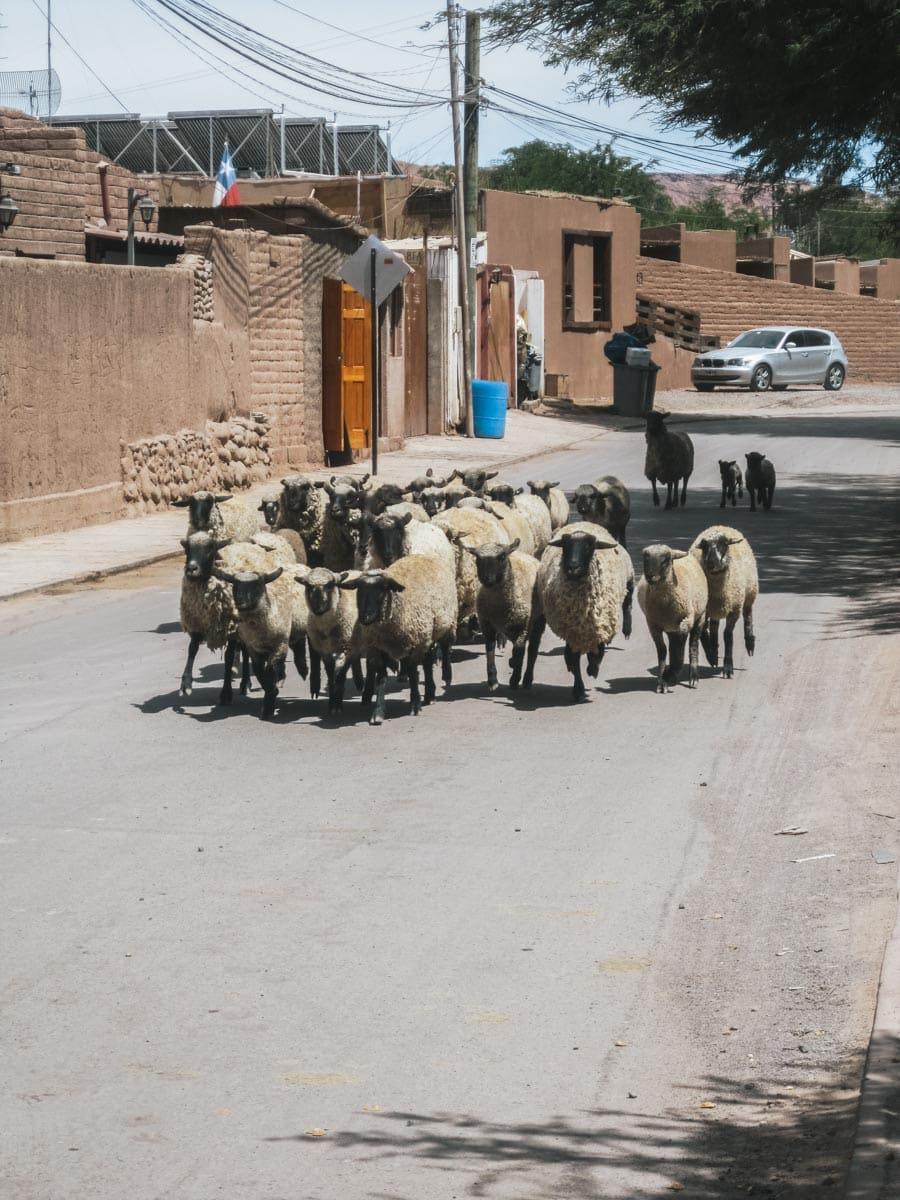 mouton rue