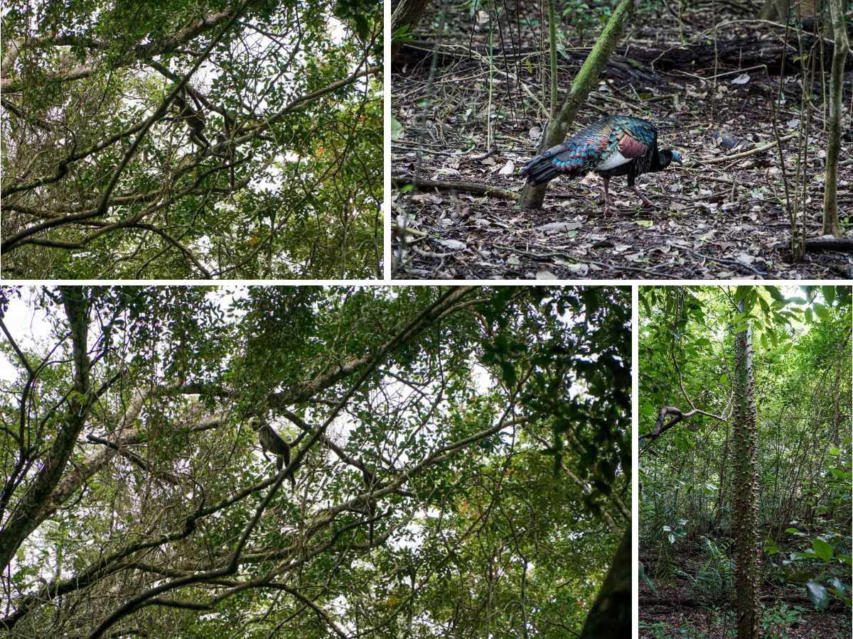 singe faisan forêt